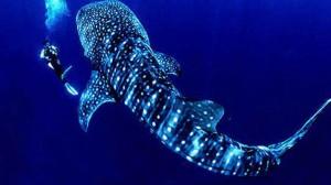 utila-whale-shark