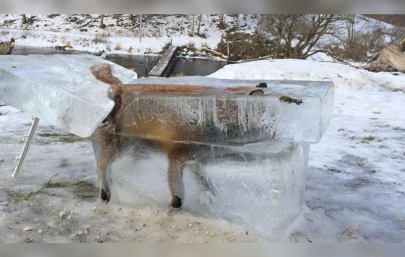 Zorro congelado BBC