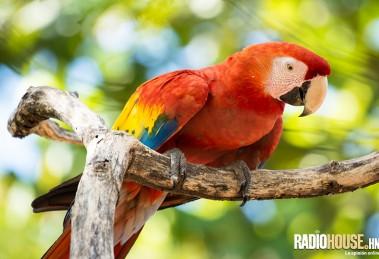 guacamaya-roja-honduras-radiohouse-2