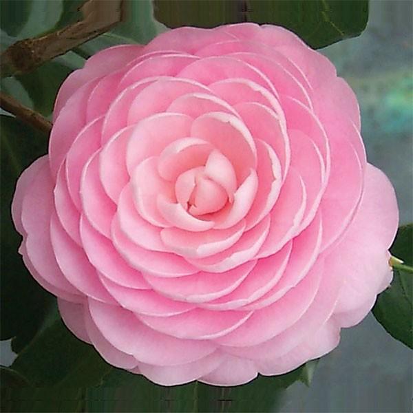 camellia japónica