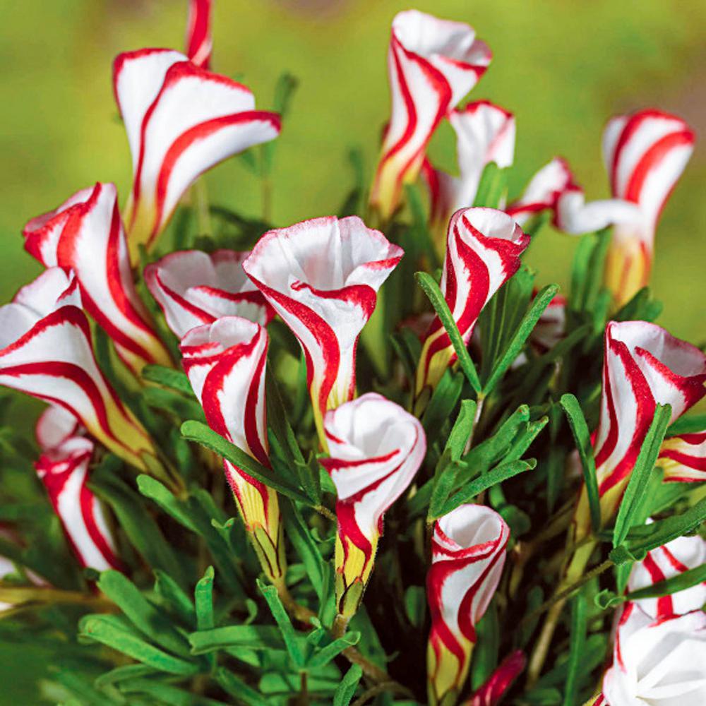 candy canel sorrel