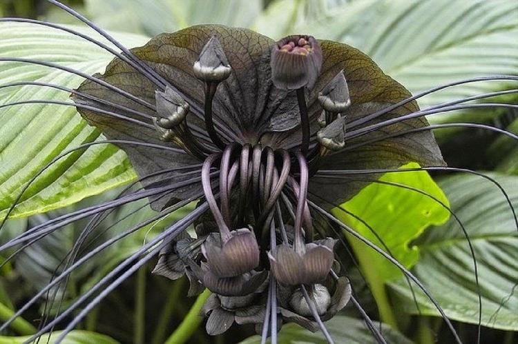 tacca chantrieri- black jungle