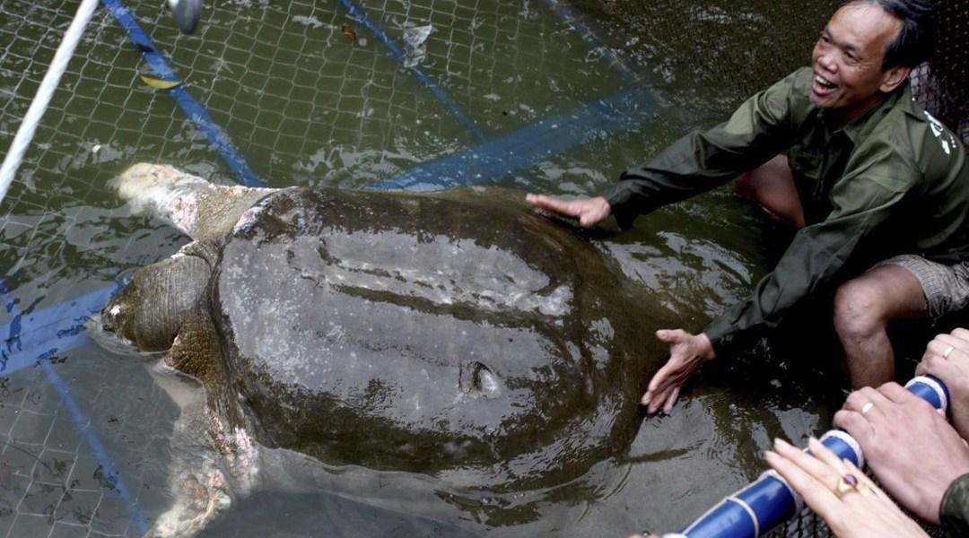 tortuga-gigante-caparazon-blando-yangtze-extincion