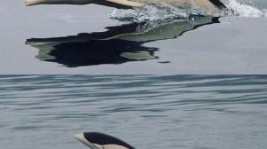 Delfin liso